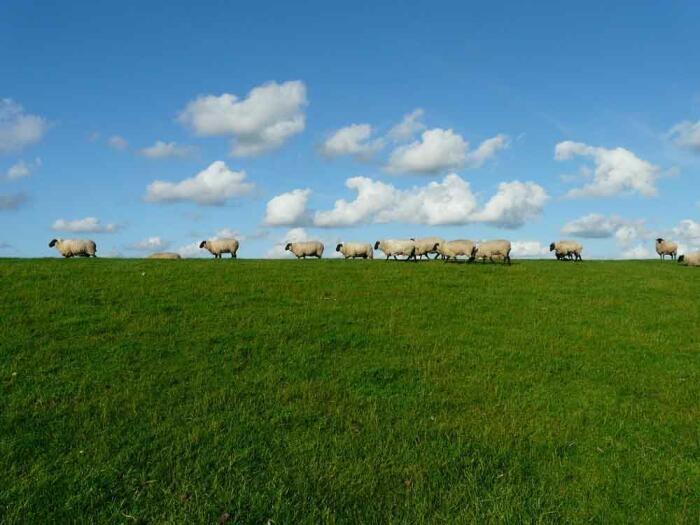 Eine Schafsherde grast auf dem Deich.